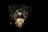 Andean Bear close up black background