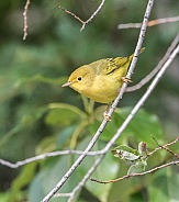 Female Yellow Warbler in Alaska