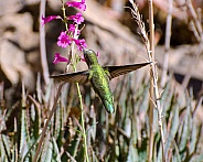 Anna's Hummingbird in Flight (Female)
