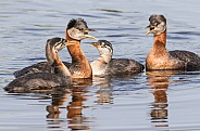 Red-necked Grebe Family in Alaska