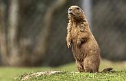 Black Tailed Prairie Marmot Standing Upright