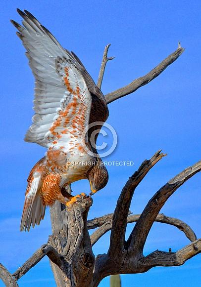 Hawk - Ferruginous Hawk