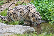 Snow Leopard Drinking