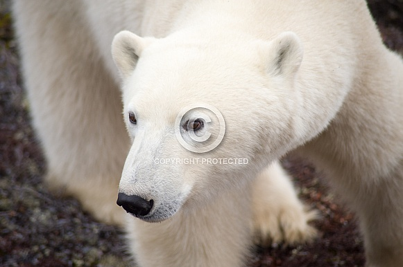 Wild Polar Bear in Canada