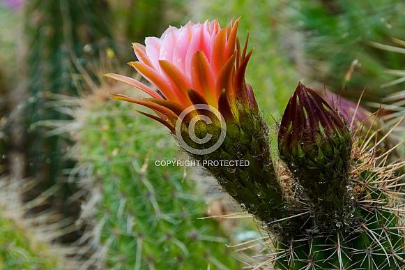 Torch Cactus after Rainstorm