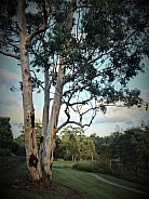 Tall Gum Tree