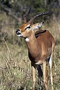 Male Impala - Botswana