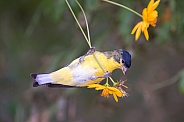 Goldfinch Collecting Flower Seeds