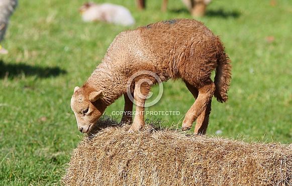 Portland Lamb