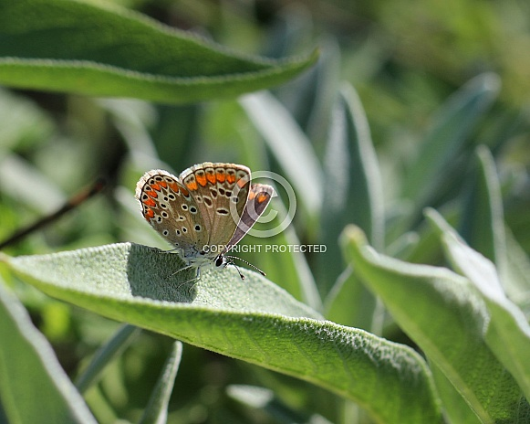 Brown Argus butterfly on Sage Leaf