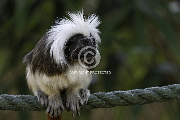 Cotton Topped Tamarin Sitting On Rope