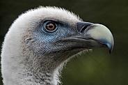 Griffon Vulture Head Shot Side Profile Close Up