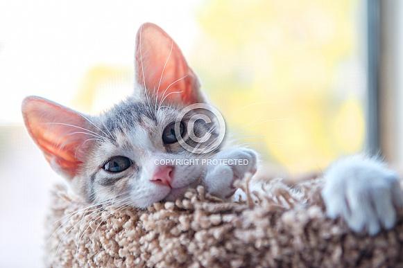 Torti Kitten