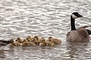 Canada goos with chicks