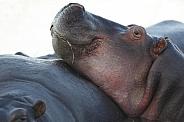 Hippoptamus - Khwai River - Botswana