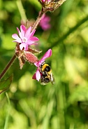 Garden Bumble Bee