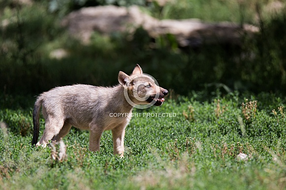 Eastern timber wolf pup