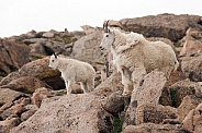 Wild mountain goat with kid