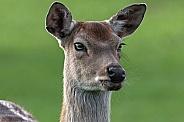 Persian Fallow Deer close up