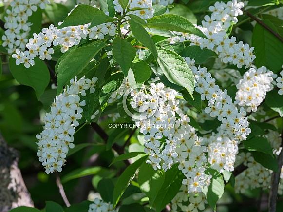 Flowering Chokecherry Tree