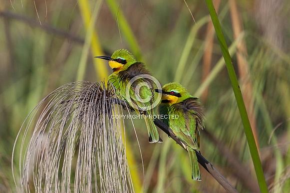 Little Bee-Eaters - Okavango Delta in Botswana