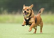 Chihuahua Cross Running