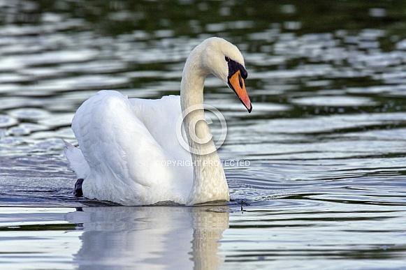 Mute Swans - Cygnus olor
