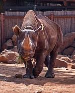 Black Rhinoceros (Diceros bicornis)