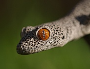 Golden Tailed Gecko