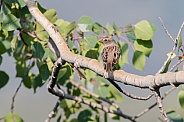 Female or Juvenile White-crowned Sparrow in Alaska