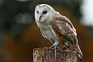 Barn owl Full shot