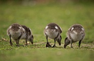 Australian wood ducklings (wild).