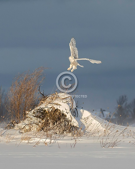 Female Snowy Owl Taking Off