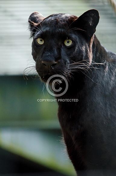 Leopard - Black Leopard