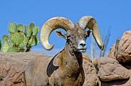 Bighorn Sheep - Portrait of a Ram