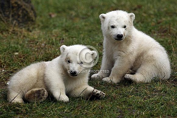 Polar Bear (twin)