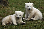 Polar Bear (twin)
