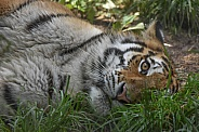 Amur Tiger laying in grass