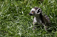 Ring-tailed lemur baby in the grass