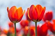 Red tulips backlit.