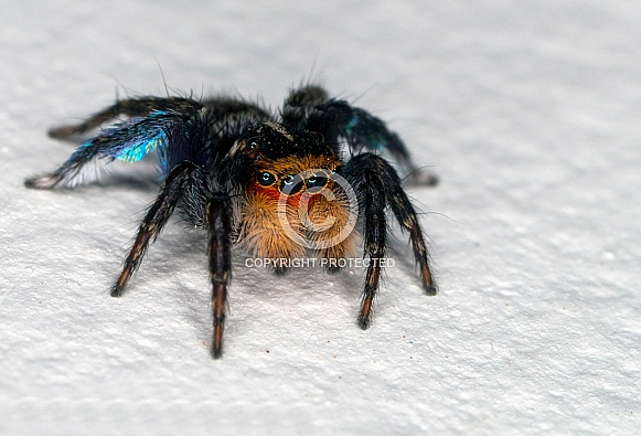 Jumping Spider - Salticidae