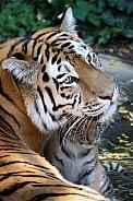 Amur tiger with cub