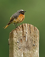 Common Redstart (male)