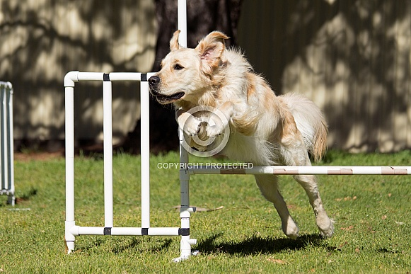 Golden retriever jumping (male).