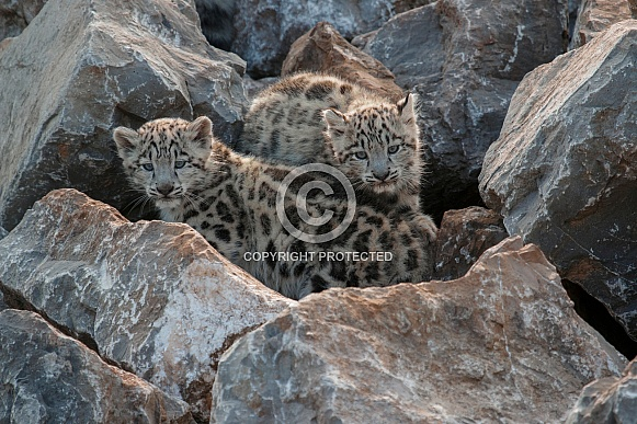 Two Snow Leopard Cubs On Rocks