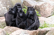 Celebes crested macaque family