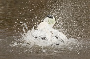 Male Eider Bathing