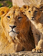 Big Brother - Lions