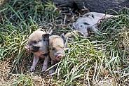 Minature Piglets