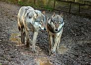Eurasian Grey Wolves